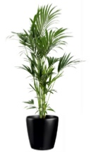 office plants kentia palm