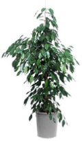 office-plants-weeping-fig