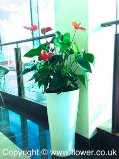 tropical office plants london delta pot an anthurium