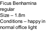 Ficus Benhamina regular Size – 1.8m  Conditions – happy in normal office light