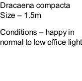 Dracaena compacta Size – 1.5m  Conditions – happy in normal to low office light