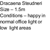 Dracaena Steudneri Size – 1.5m  Conditions – happy in normal office light or low  light areas
