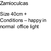 Zamioculcas Size 40cm + Conditions – happy in normal  office light